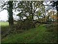 SK3619 : Fallen tree at the southern tip of Bryan's Coppice by Christine Johnstone