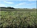 SK3826 : Emerging crop at Chantry Farm by Christine Johnstone