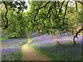 NS4090 : Bluebells in Oak Woodland, Inchcailloch by Mags49