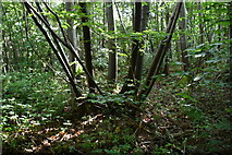 TQ4048 : Coppiced tree, Great Earls Wood by N Chadwick