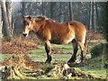 SU8935 : Hindhead - Exmoor Pony by Colin Smith