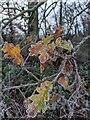 TF0820 : A frosted oak by Bob Harvey