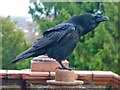 ST3087 : Raven, Belle Vue Park by Robin Drayton