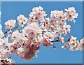 TQ0658 : Wisley - Cherry Blossom by Colin Smith