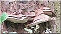 TQ1350 : Ranmore Common - Bracket Fungi by Colin Smith