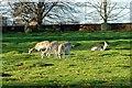 SJ7487 : Fallow Deer at Dunham Massey by Jeff Buck