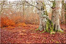 NH5857 : Regenerating beech in Drummondreach Oak Wood by Julian Paren