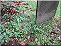 SK7450 : Primroses in flower in East Stoke churchyard by Jonathan Thacker