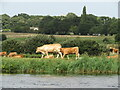 TG3007 : Postwick - Cattle by Colin Smith