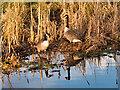 SD7808 : Canada Geese by David Dixon