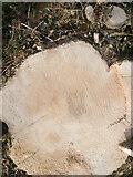 SU5624 : Ash dieback devastation in Holden Lane by Peter Facey