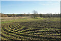 SU6086 : Emerging crop near Bow Bridge by Bill Boaden