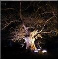 SP4315 : Blenheim Illuminations - (13) - Illuminated Oak by Rob Farrow