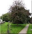 SO3512 : Memorial trees in the village churchyard, Llanddewi Rhydderch, Monmouthshire by Jaggery