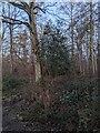 TF0820 : The mis-identified evergreen by Bob Harvey