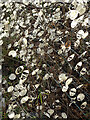 NJ3662 : Honesty (Lunaria annua) by Anne Burgess