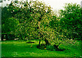 SK9224 : Newton's apple tree, Woolsthorpe Manor by Humphrey Bolton