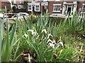 SJ6949 : Snowdrops in Wybunbury churchyard by Jonathan Hutchins