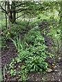 SJ7949 : Wild garlic near Cloggers Pool by Jonathan Hutchins
