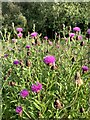 SJ7948 : Common Knapweed at Bateswood Country Park by Jonathan Hutchins