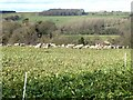 NY9257 : Sheep folded on root crop by Oliver Dixon