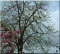 SJ9593 : Cherry Tree on Werneth Avenue by Gerald England