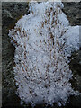 NJ3151 : Moss in the Snow by Anne Burgess