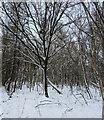 TF0820 : Tree in the snow by Bob Harvey