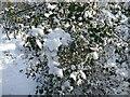 NY9363 : Holly bush under snow by Oliver Dixon