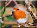 SD7908 : Robin (Erithacus rubecula) by David Dixon