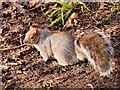 SD8204 : Grey Squirrel in the Dell at Heaton Park by David Dixon