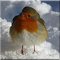 NJ3561 : Robin (Erithacus rubecula) by Anne Burgess