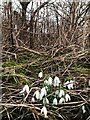 SK5033 : Snowdrops by David Lally
