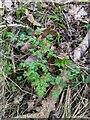 TF0820 : Fresh growth : Anthriscus sylvestris by Bob Harvey