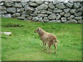 NF1099 : A young Soay sheep in 'The Village' (am Baile) on Hirta by Michael Earnshaw