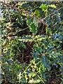 TF0820 : Ilex aquifolium by Bob Harvey