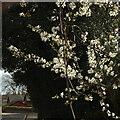 SX9064 : Blossom, Sherwell Park by Derek Harper