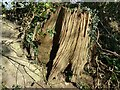 SO7447 : An old tree stump by Philip Halling