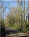 TL4346 : Thriplow: Farm Lane daffodils by John Sutton
