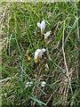 TF0820 : White crocus by Bob Harvey
