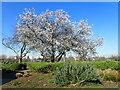 TQ4778 : Blossom near Lesnes Abbey by Marathon
