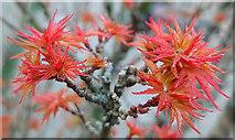 SO7119 : Acer palmatum 'Shishigashira', 1 by Jonathan Billinger