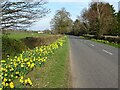 SO8144 : Daffodils beside a minor road by Philip Halling