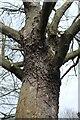 TF0919 : Plane tree by Bob Harvey