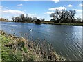 TL5480 : Swan and teasels - The River Great Ouse at Ely by Richard Humphrey