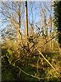 TF0820 : Buds on a bush by Bob Harvey