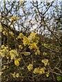 TF0820 : Salix caprea by Bob Harvey