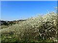 TQ4677 : Blackthorn on East Wickham Open Space by Marathon