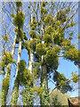 TQ7146 : An abundance of mistletoe by Marathon