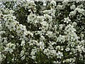 SO7742 : Blackthorn blossom by Philip Halling